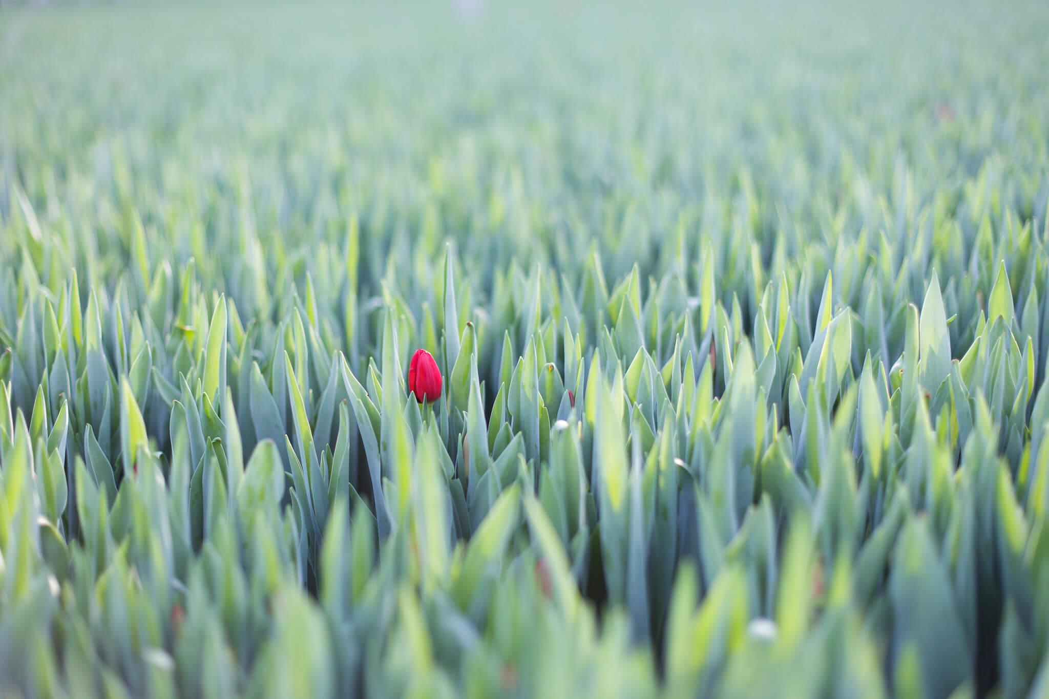 Tulpen.nl_7679_webHD