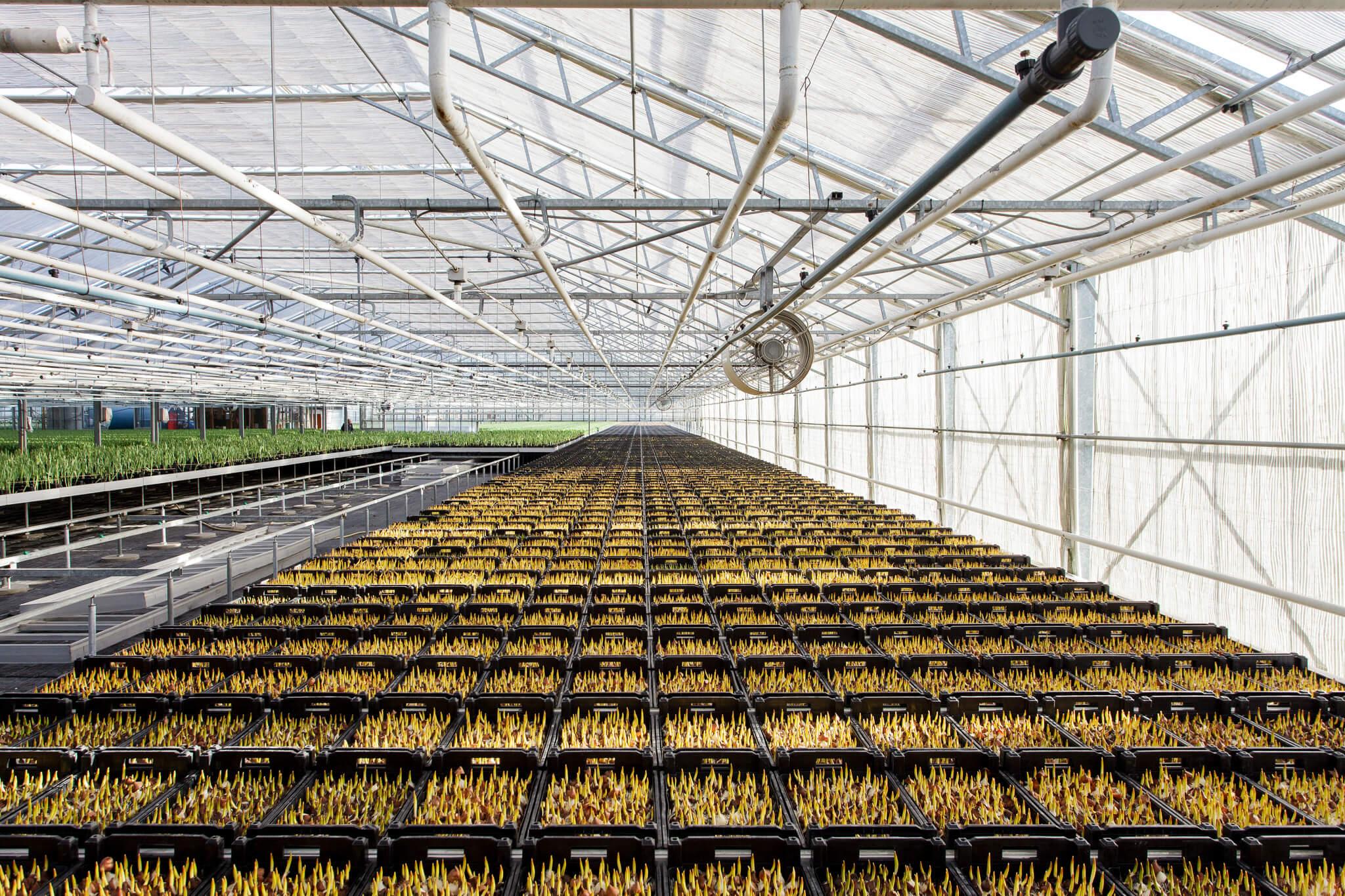 Tulpen.nl_7749_webHD